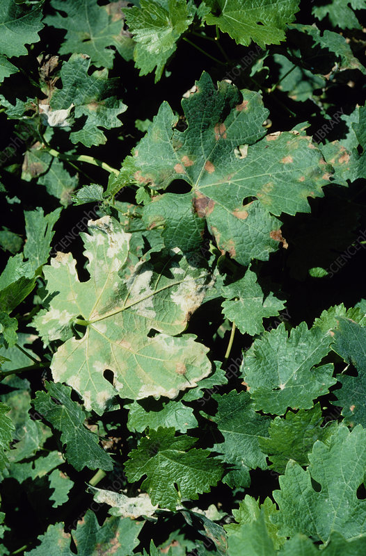 Downy mildew on vine
