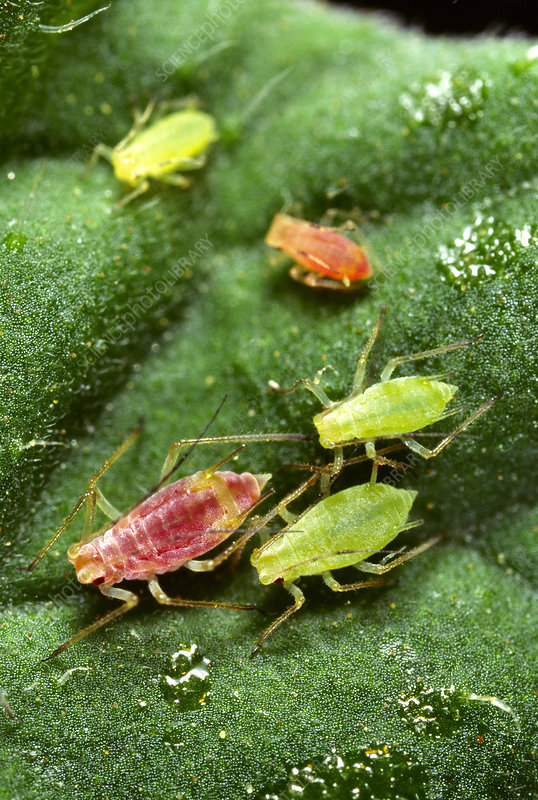 Potato aphids feeding on a tomato leaf