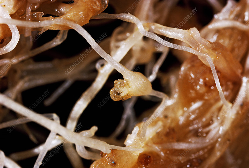 Rootknot nematode gall and egg mass