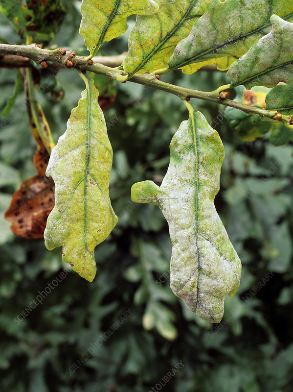 Powdery mildew on Oak leaves