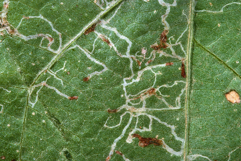 Leaf miner larvae in bean leaf