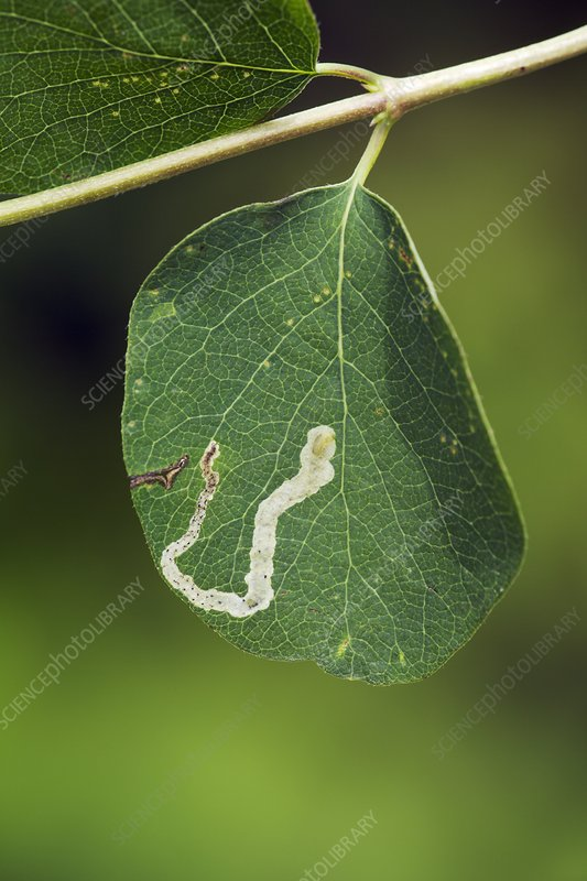 Leaf miner on leaf of Snowberry