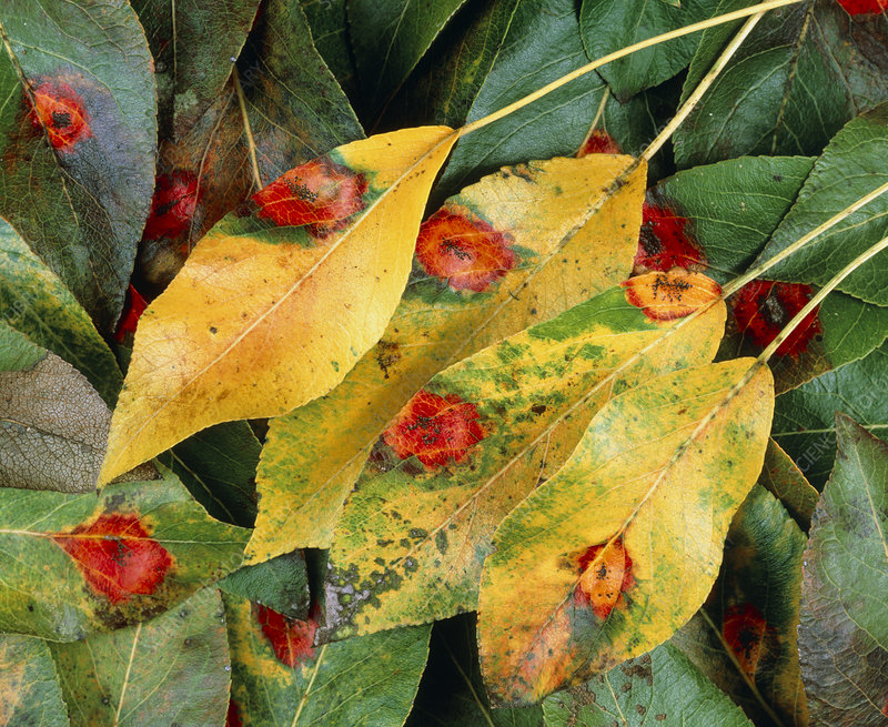 Rust spots on pear leaves