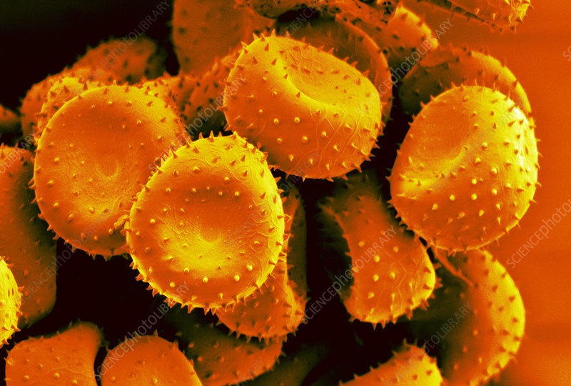 Pelargonium rust spores