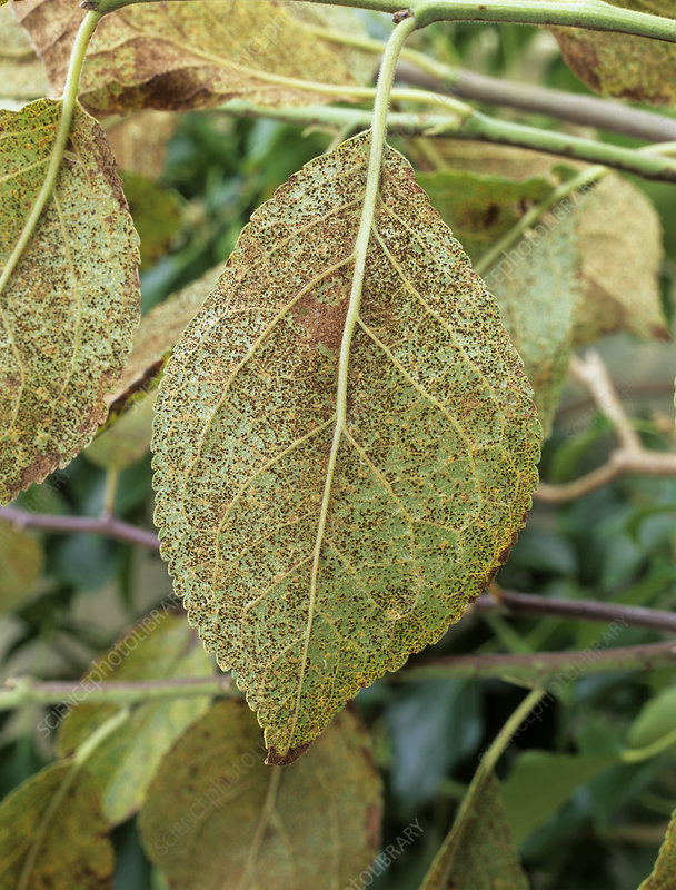 Rust fungus on plum leaf