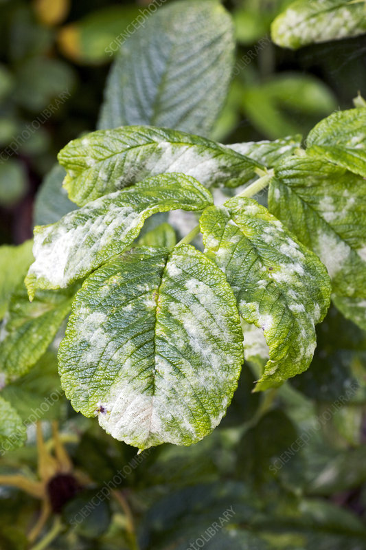 Rose powdery mildew