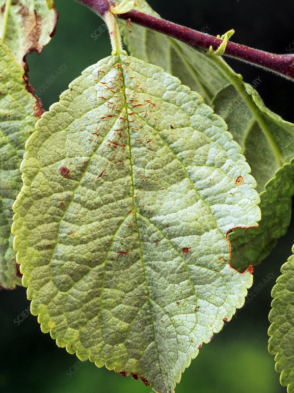 Silver leaf disease on plum