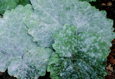 Powdery mildew on annual honesty leaves
