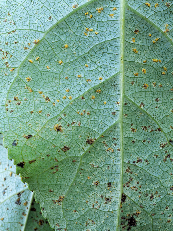 Poplar rust (Melampsora sp.)