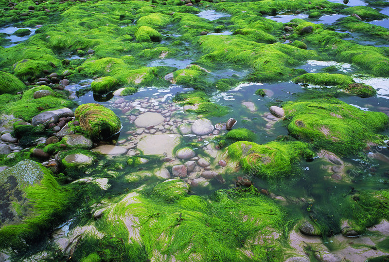 Green algae on sea shore rocks