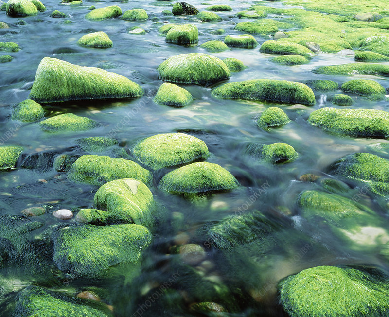 Green algae in estaurine tidal zone