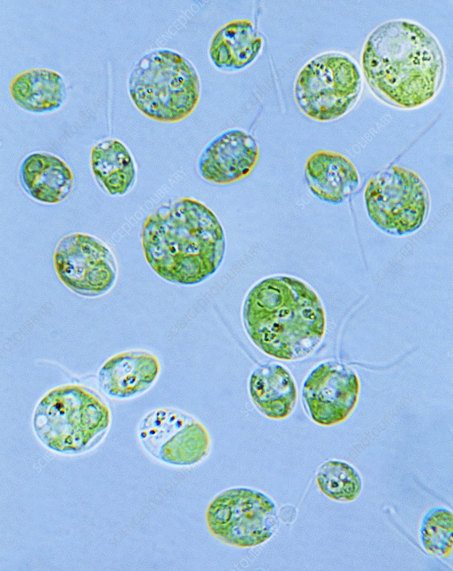 Chlamydomonas algae