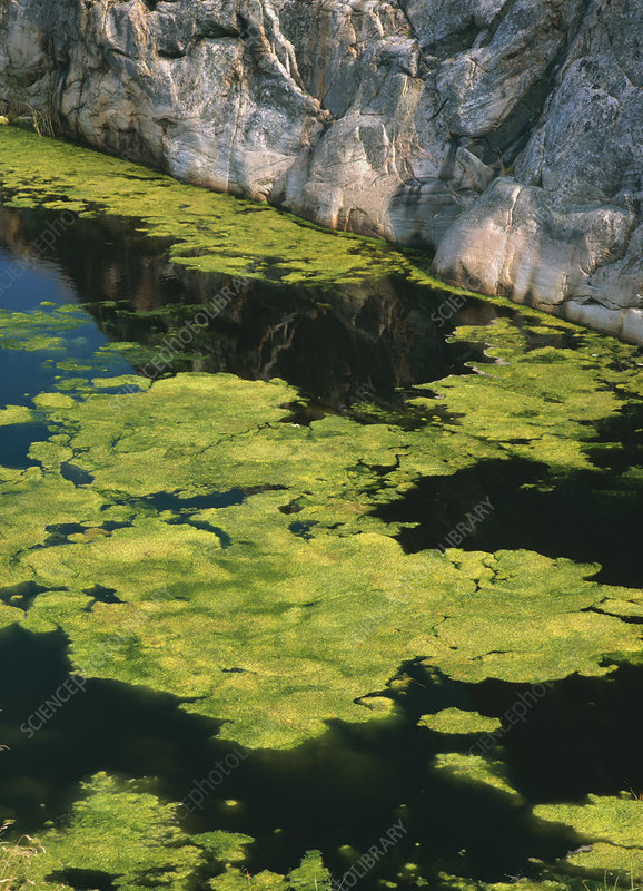 Green algae in seawater