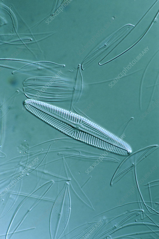 Diatoms, single-celled algae