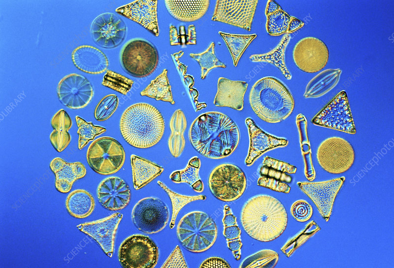 Different seawater diatoms