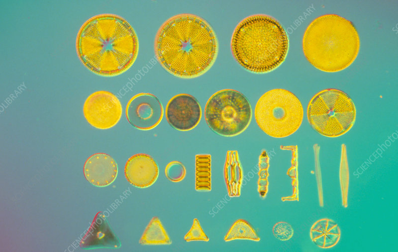 Assortment of fossil diatoms