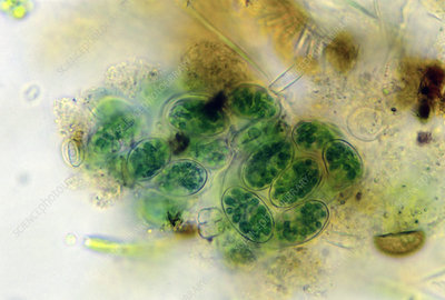 Blue-green alga, Chroococcus