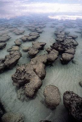 Stromatolite structures blue-green algae