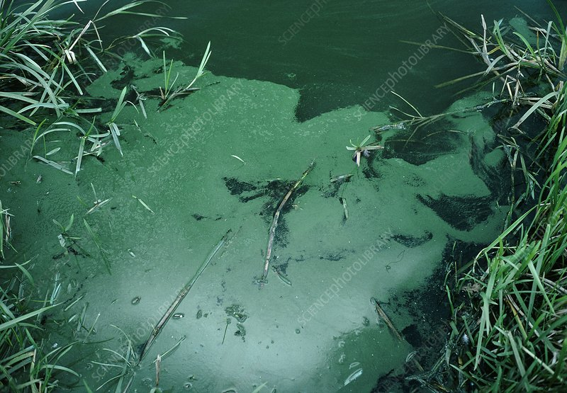 Lake discoloured by blue green algae