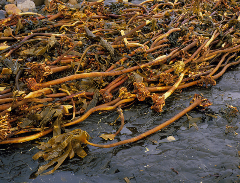 Kelp, Laminaria, washed up on the shore