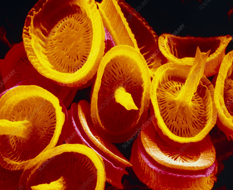 Golden brown algae shells, SEM