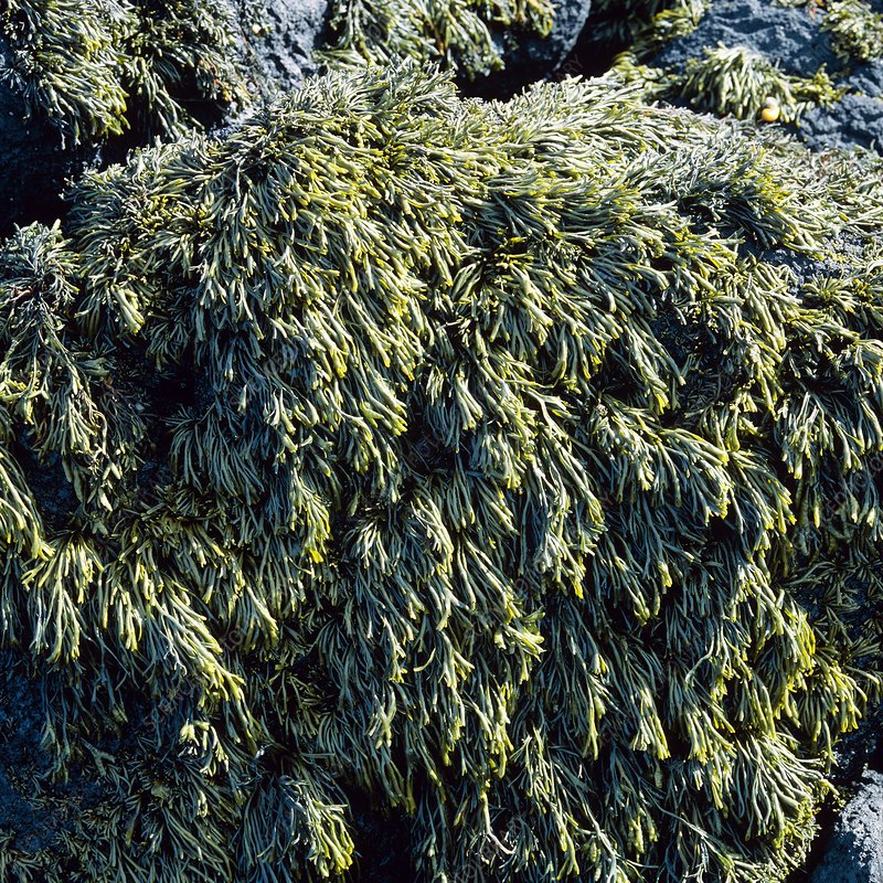 Rock covered in channeled wrack seaweed