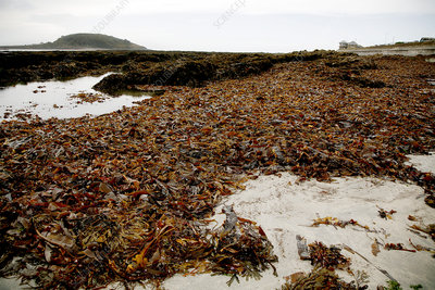 Seaweed covered beach