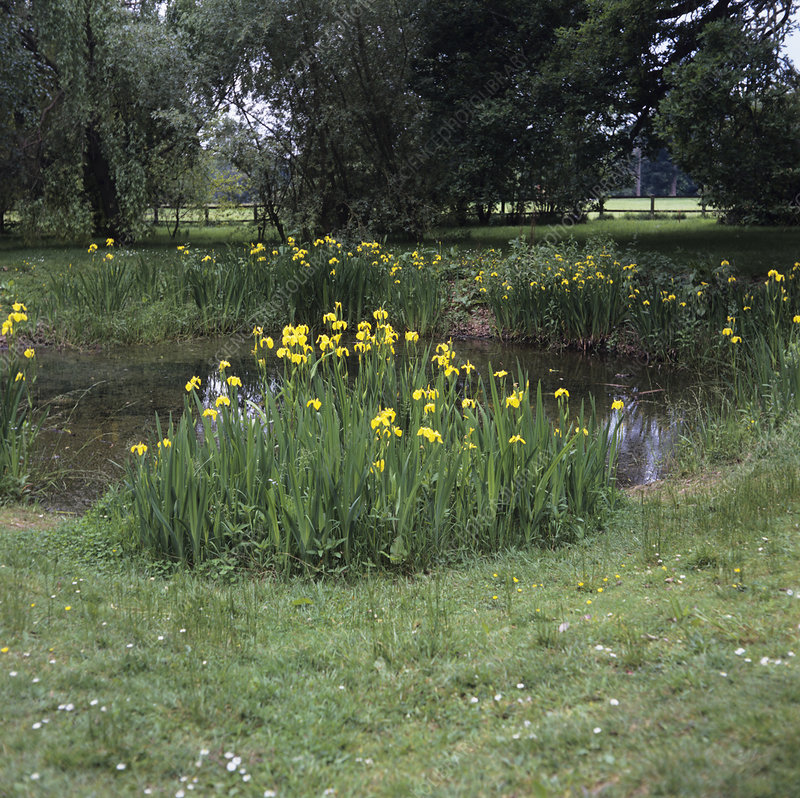 Yellow flag irises growing by a pond