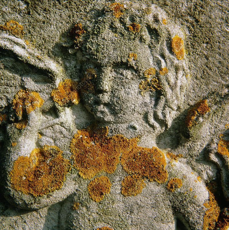 Macrophotograph of a lichen
