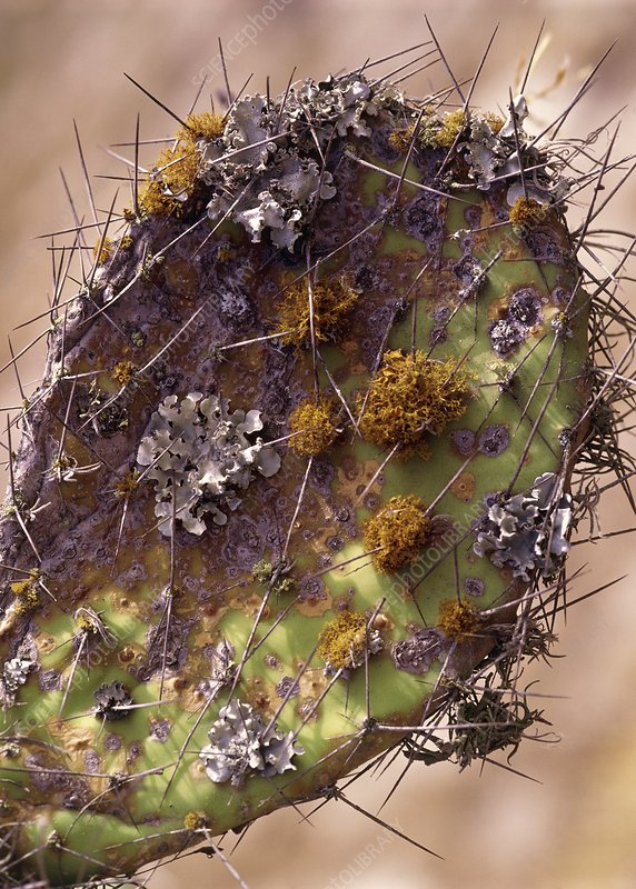 Lichen growing on Opuntia cactus leaf