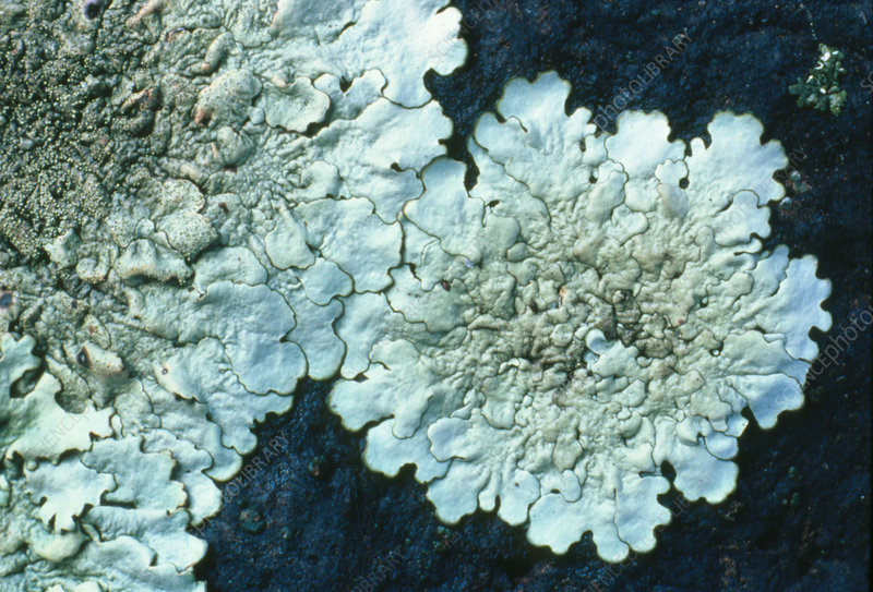 Foliose lichen growing on a rock