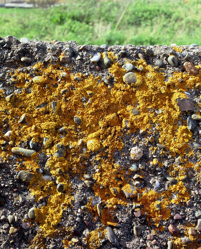 Sea shore lichens, Xanthoria parietina