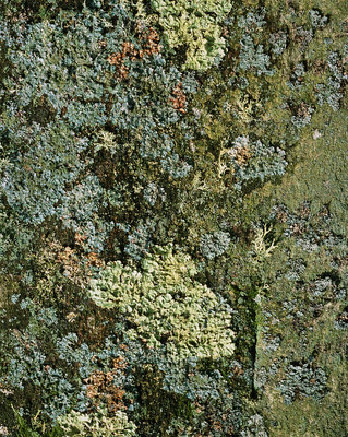 Lichens on a tree trunk