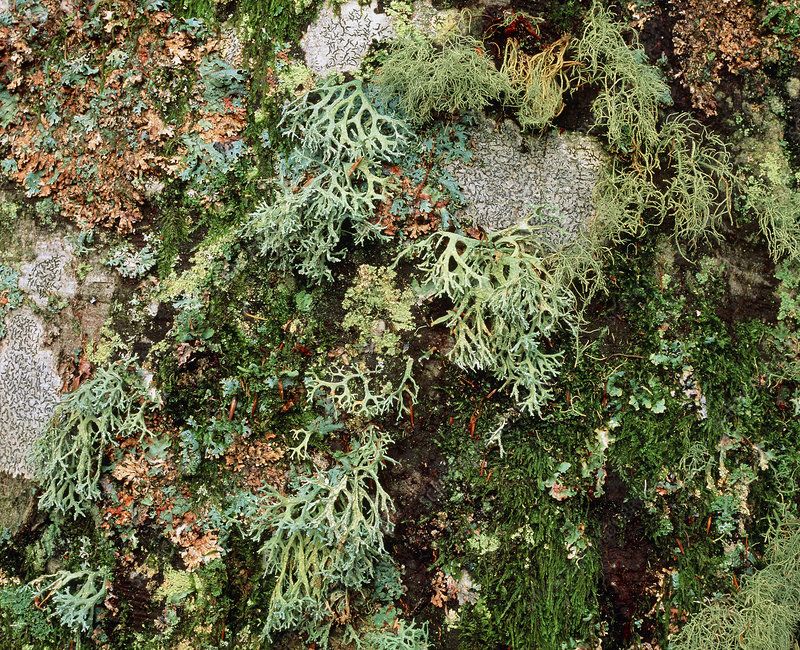 Lichen and moss on beech tree