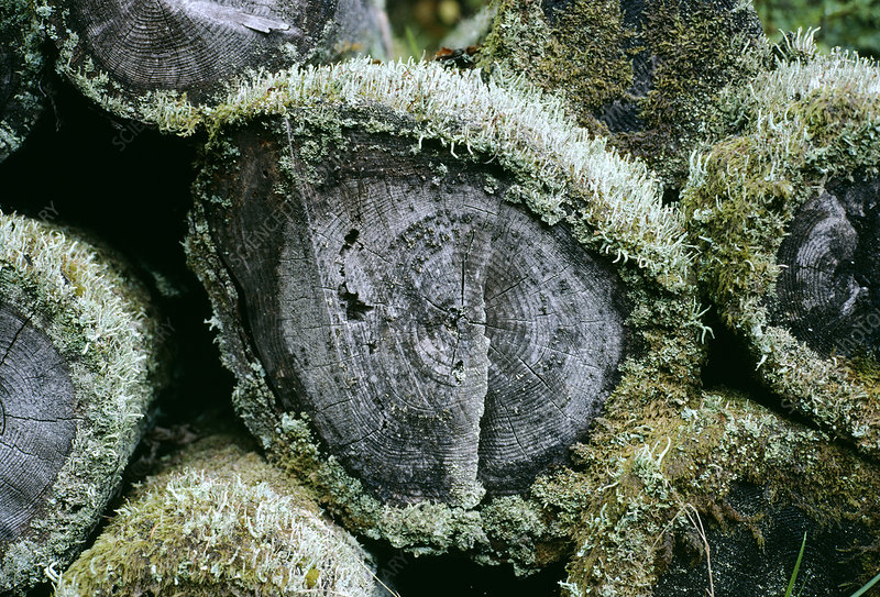 Lichen on logs