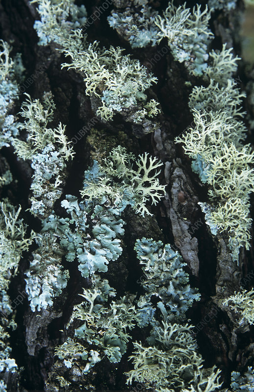 Powder-edged ruffle lichen