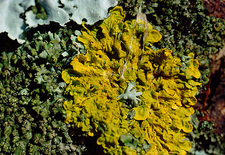 Common orange lichen on a rock