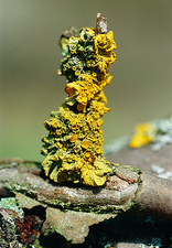 Common orange lichen on a twig