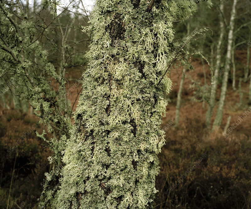 Lichen on a silver birch tree