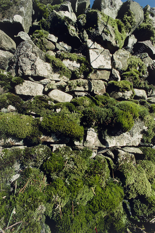 Mosses growing on a stone cliff