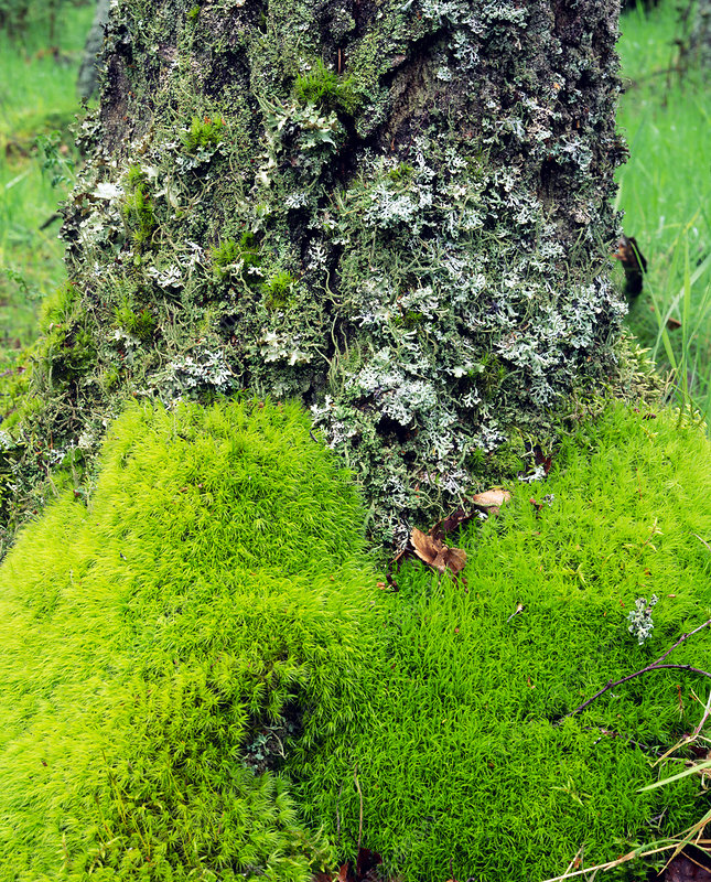 Moss and lichen growing on a birch tree