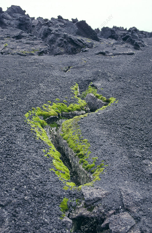 Moss growing on a volcanic vent