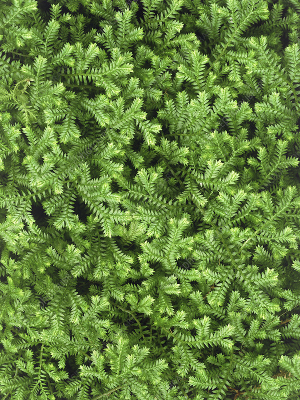 Little club moss