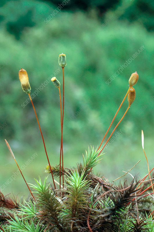 Haircap Moss with Spore Capsules