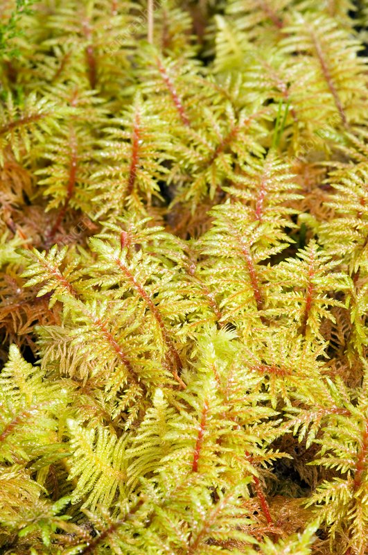 Mountain fern moss