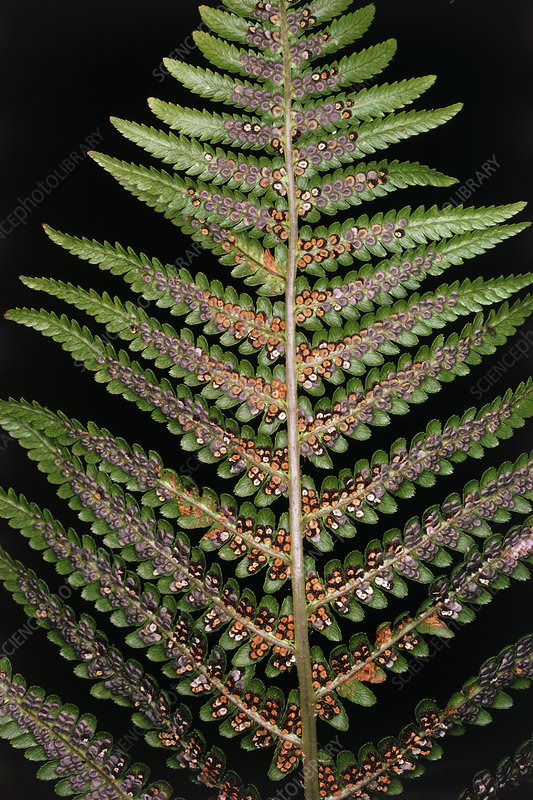 Underside of Dryopteris filix-mas - 'male fern'