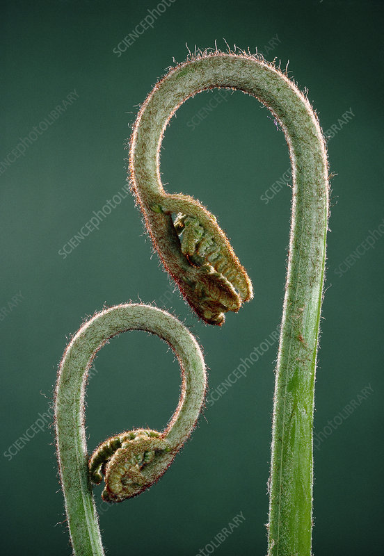 Macrophoto of Eagle fern leaves uncoiling