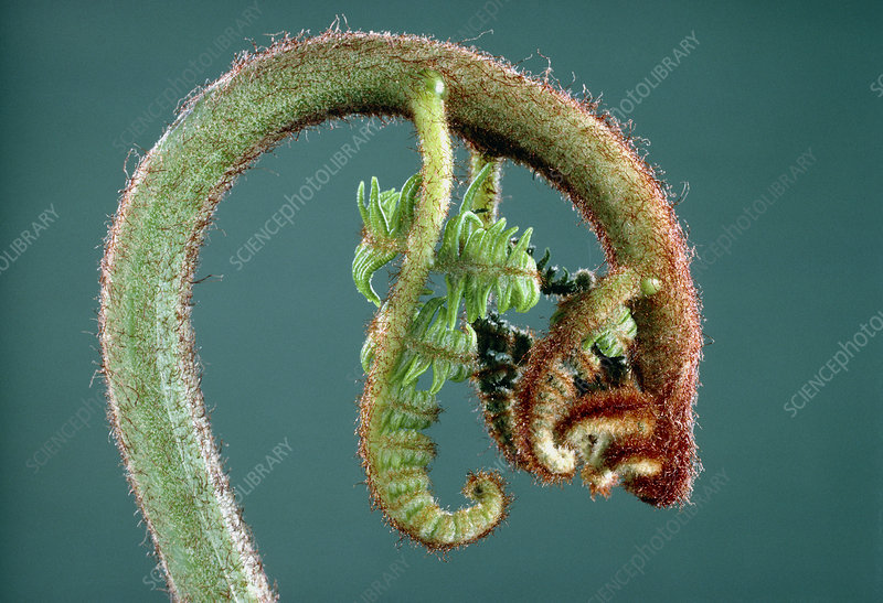 Unfolding of a young fern leaf
