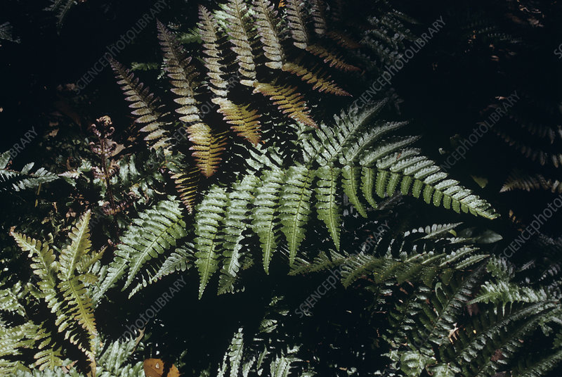 Japanese shield fern (Dryopteris sp.)