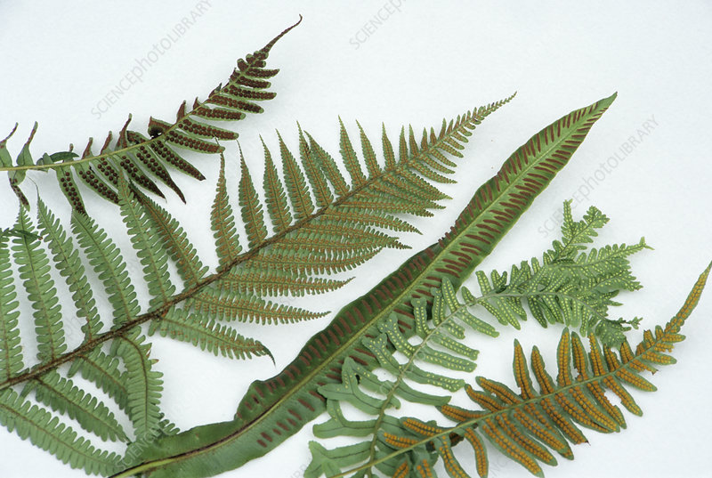 Fern fronds and sori